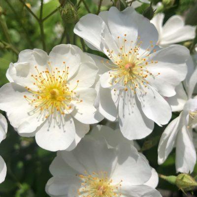 Warum Rosen und Bienen zusammen gehören !