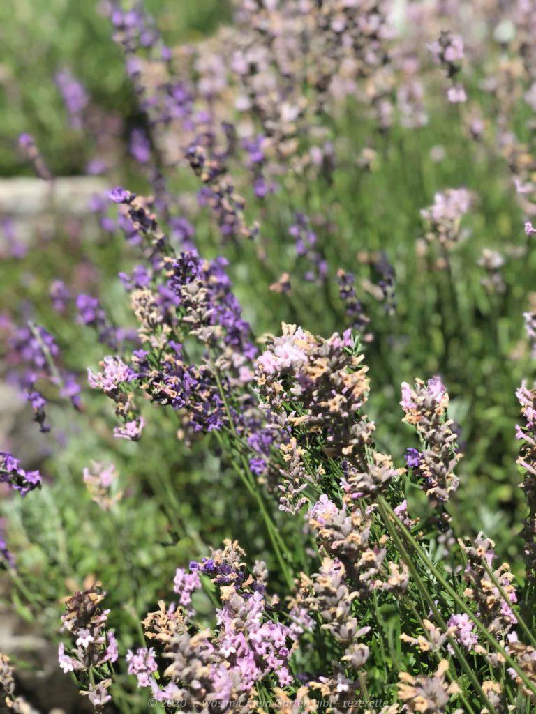 Lavendel in weiß und lila