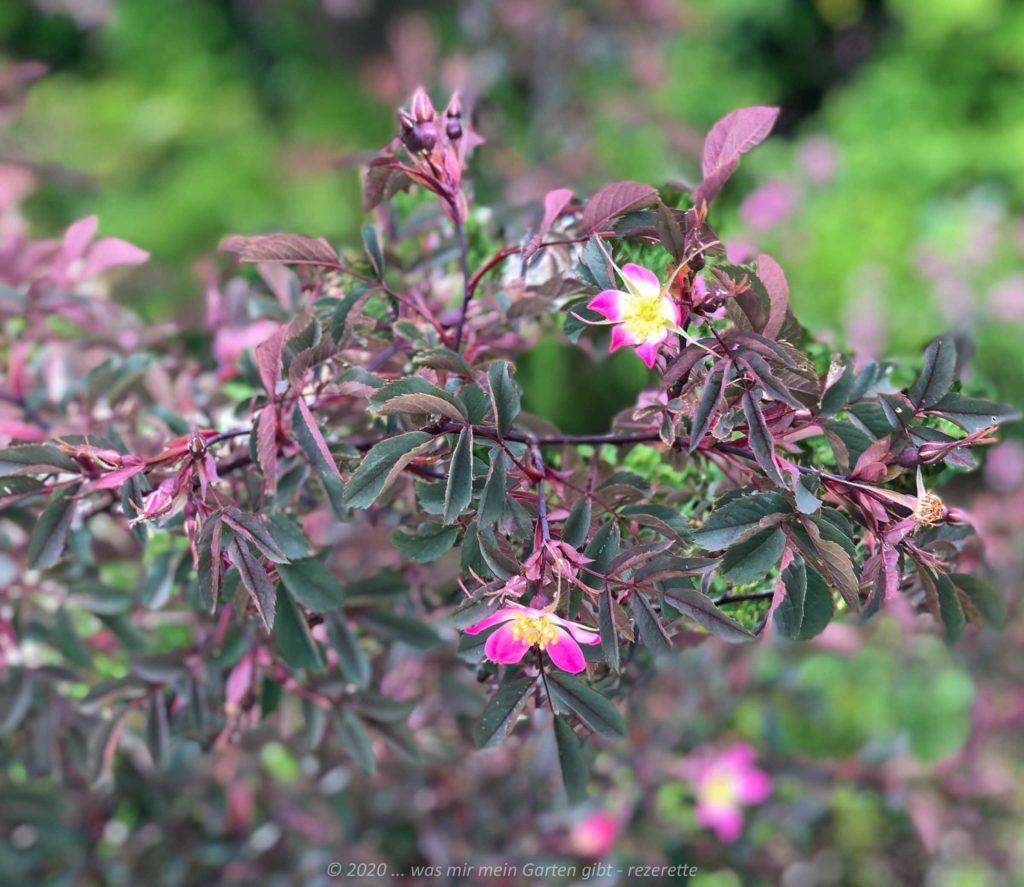 Rotblättrige Wild Rose .. Rosa Glauca