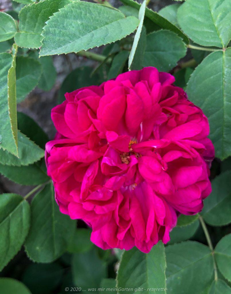 Rose de Resht, Portlandrose stark duftend, gefüllt